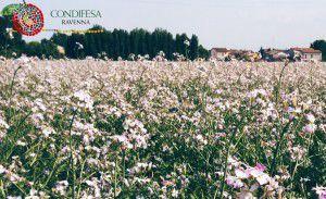 Condifesa Ravenna - Agrea 27,71percento CdA