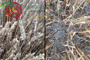Condifesa Ravenna - Cereali Autunno Vernini 2015-2016 Avvio Campagna